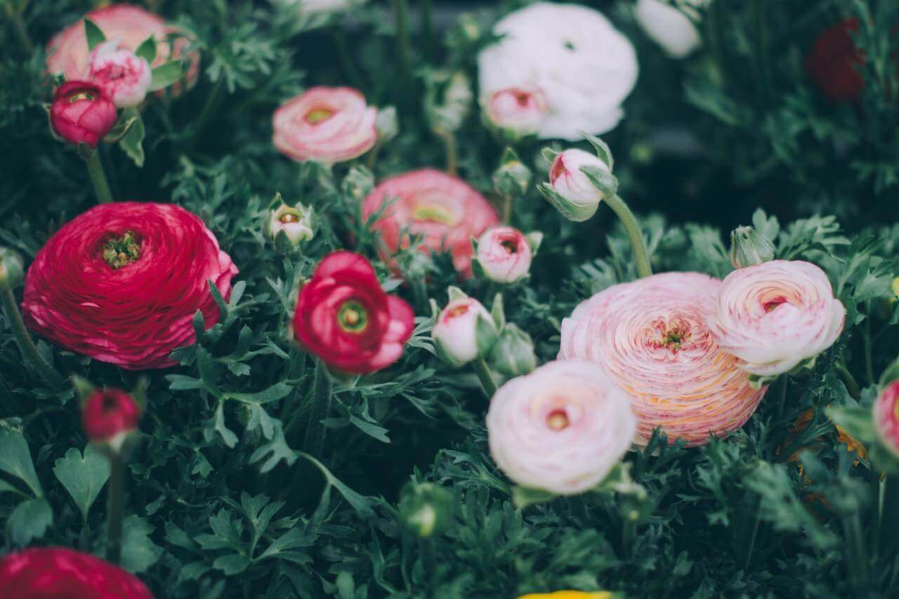 zoom on a melange of white, pink and red flowers with dark green foliage