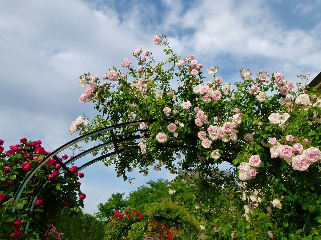 arches with climbing roses