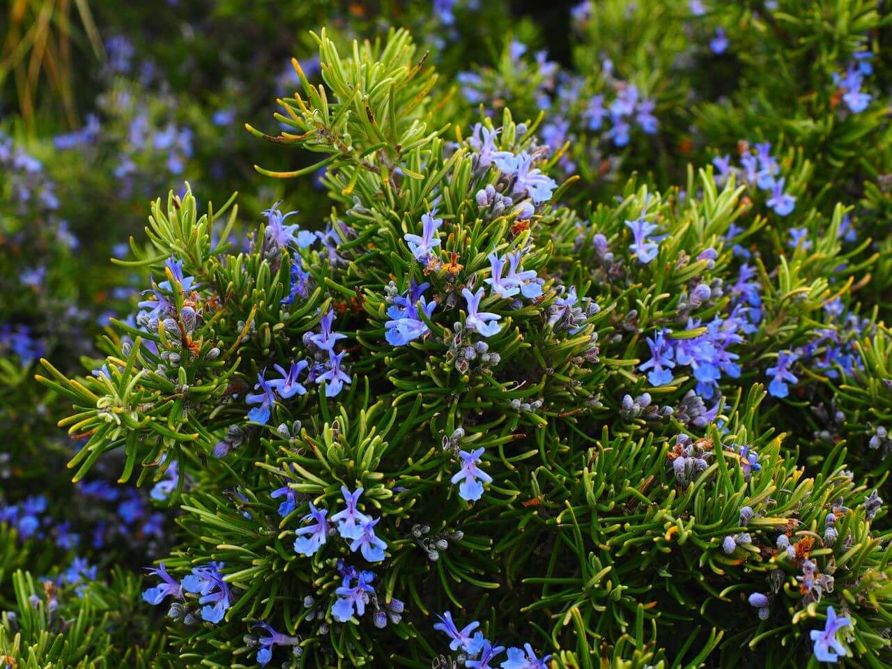 close-up on plant with blue flowers