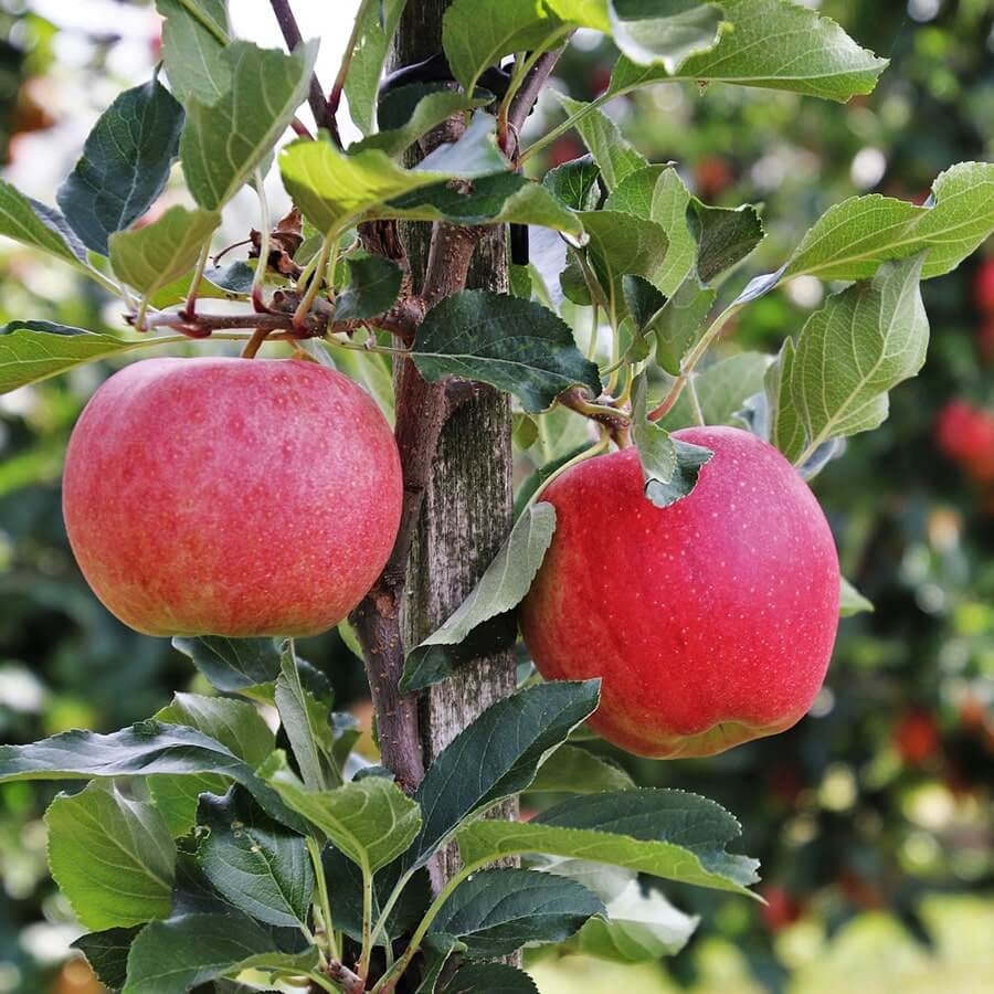 red apple on a colonary apple tree