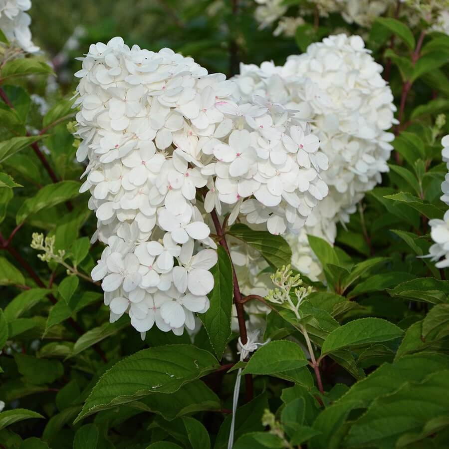 white and flowery Hydrangea paniculata