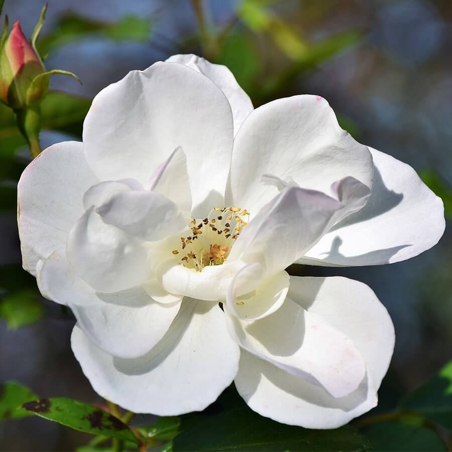 white and flowery rose