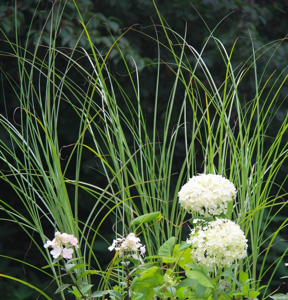 close-up of white annabella flowers in front of a miscanthus