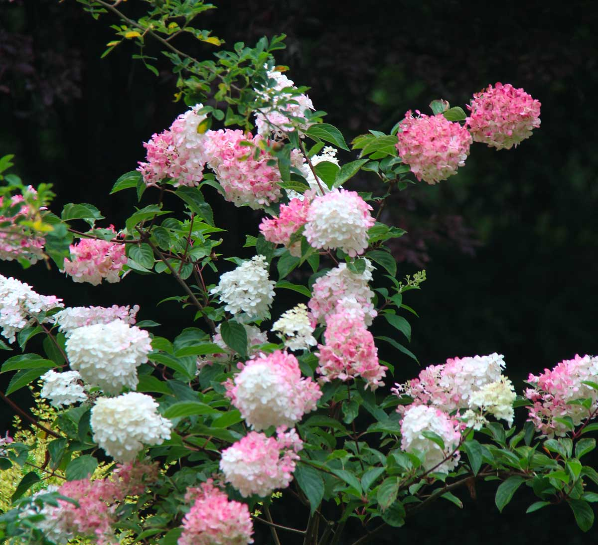 close-up on pink and white hydrangea flowers
