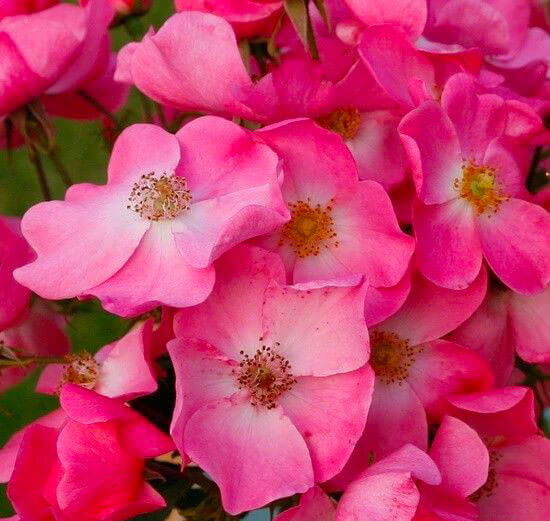 zoom on wild roses of a beautiful pink color