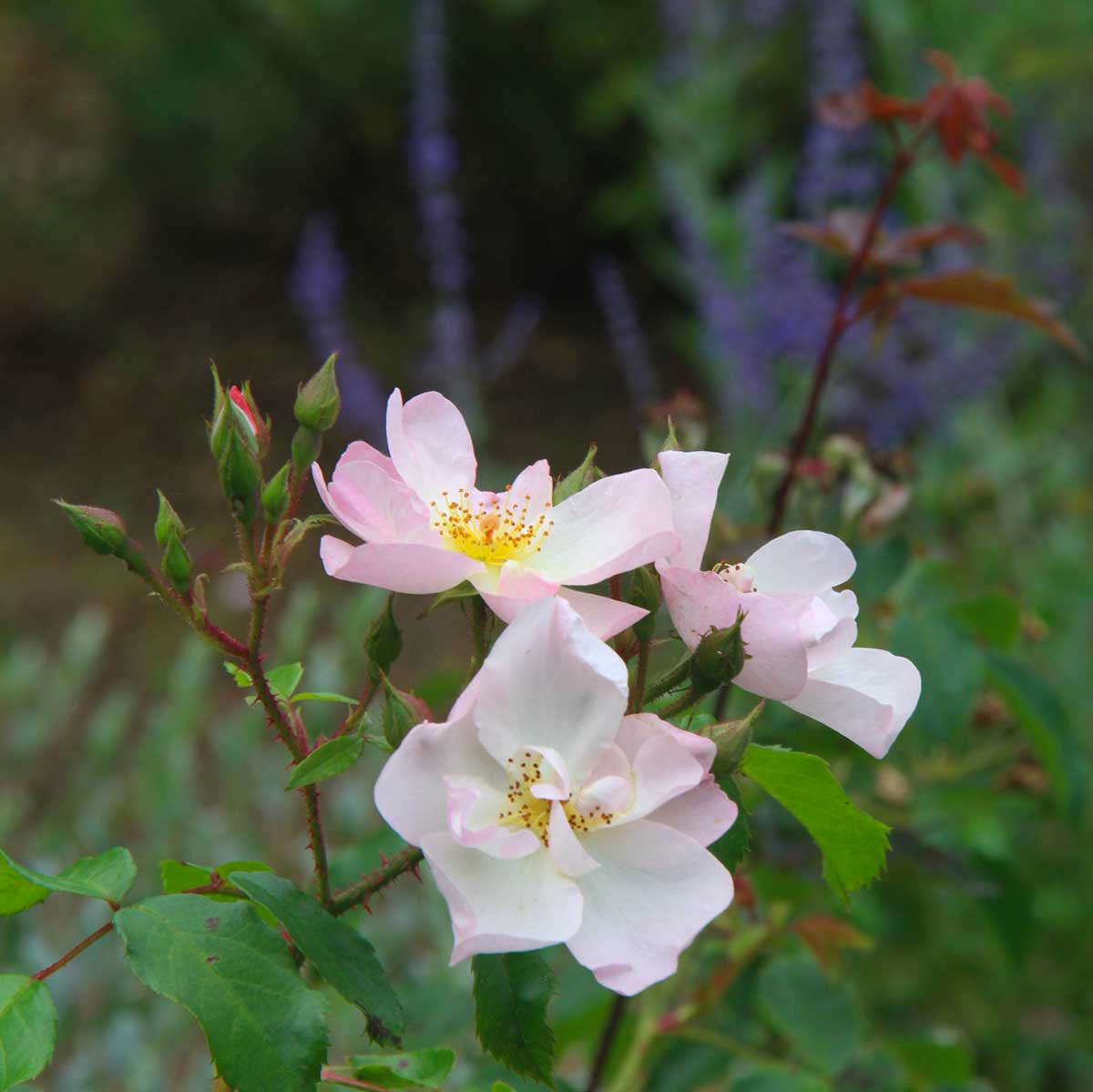close-up on pale pink wild roses