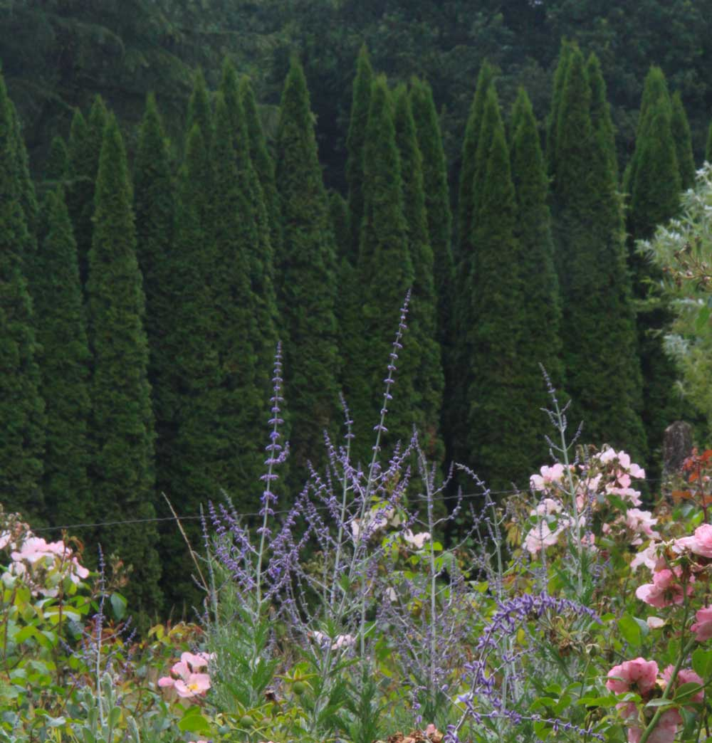 photo of wild roses in the foreground with large pointed yews in the background