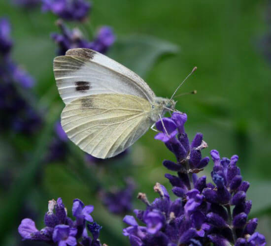 butterfly on lavender