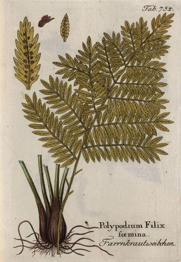 "Extract of ""Illustrations of all medical, economic and technological plants, Volume 9: Polypodium Filix foemina"""