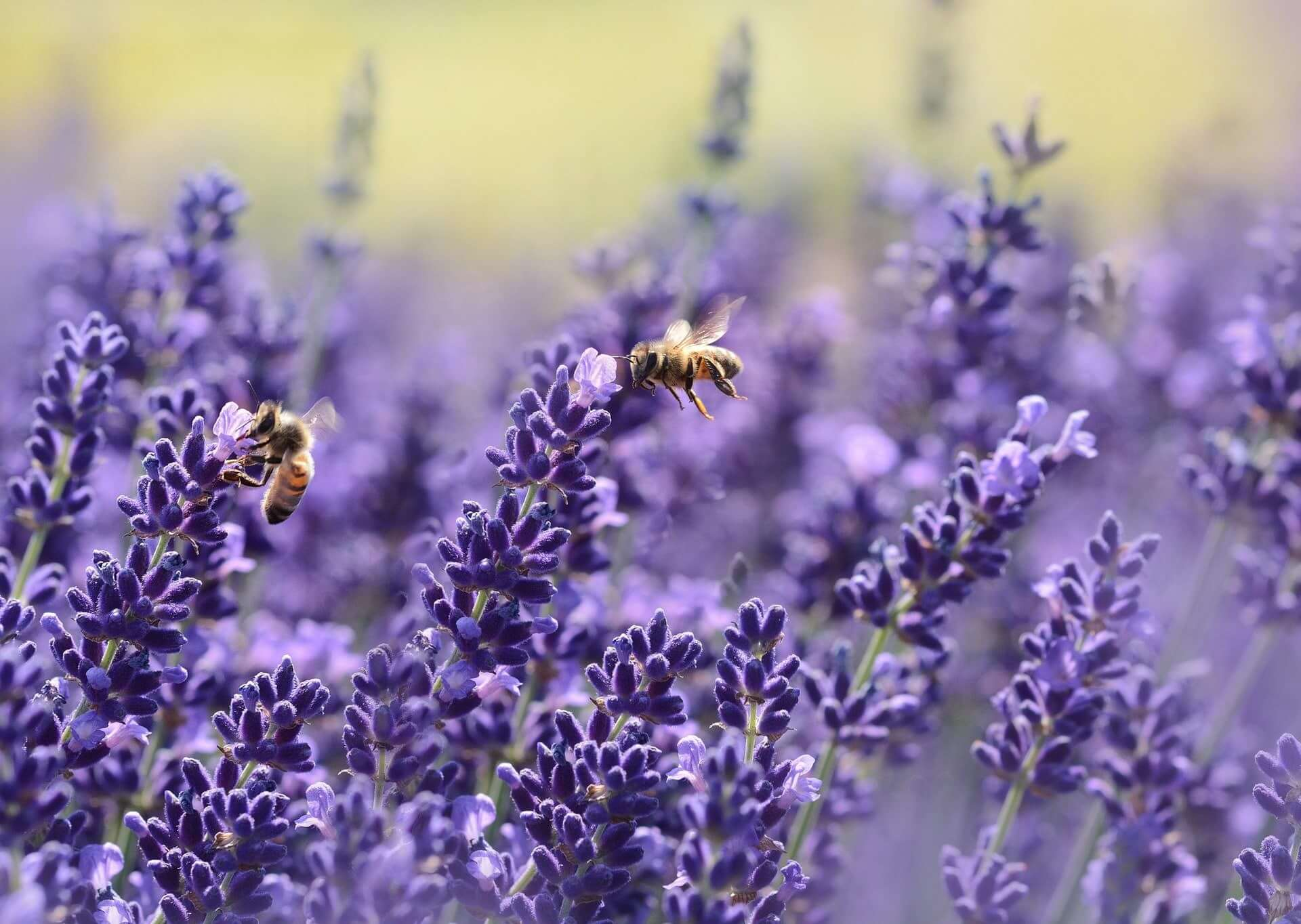Close-up of bees foraging for lavender