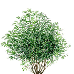 Watercolor of the forsythia intermedia of Draw Me A Garden gardens