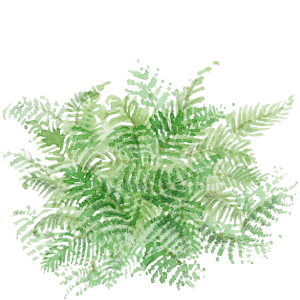 Watercolor of the polystichum setiferum of Draw Me A Garden gardens
