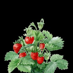 Aquarelle du fraisier des jardins Draw Me A Garden