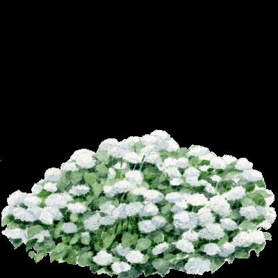 Aquarelle de l'hydrangea annabelle des jardins Draw Me A Garden