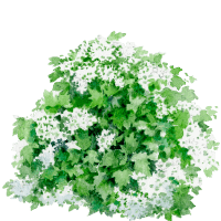 Watercolor of the hydrangea quercifolia snowflake of Draw Me A Garden gardens