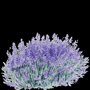 Lavandula angustifolia 'hidcote' aquarelle