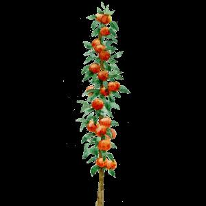 Pommier colonnaire d'un jardin nourricier en aquarelle avant cueillette
