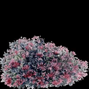 Weigelia florida alexandra watercolour